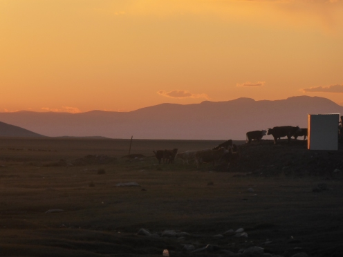 Cows going home to bed
