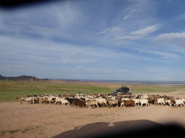 Boys herding goats on their bikes