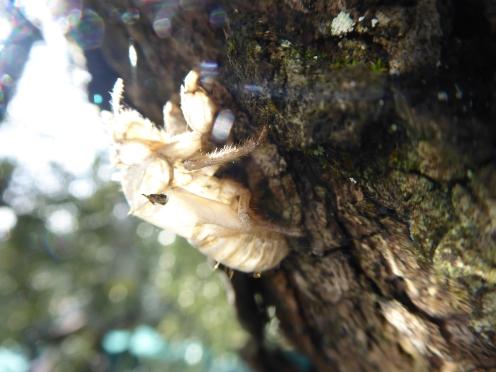 Shedded skins of Cicada's