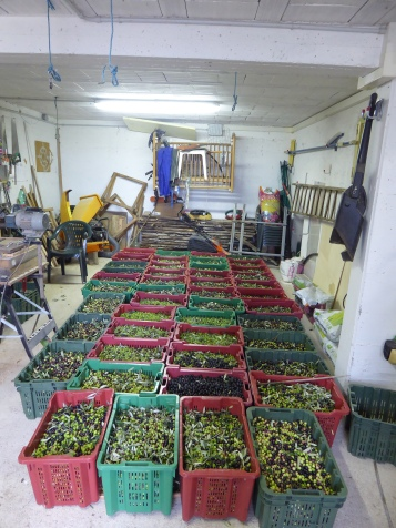 The olives being stored in the basement